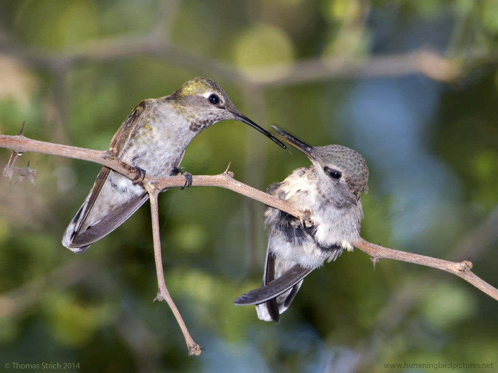 Close up picture of a mother hummingbird perched on a twig beside her fledgling. The hummingbirds are facing each other after the mother finished feeding the fledgling.
