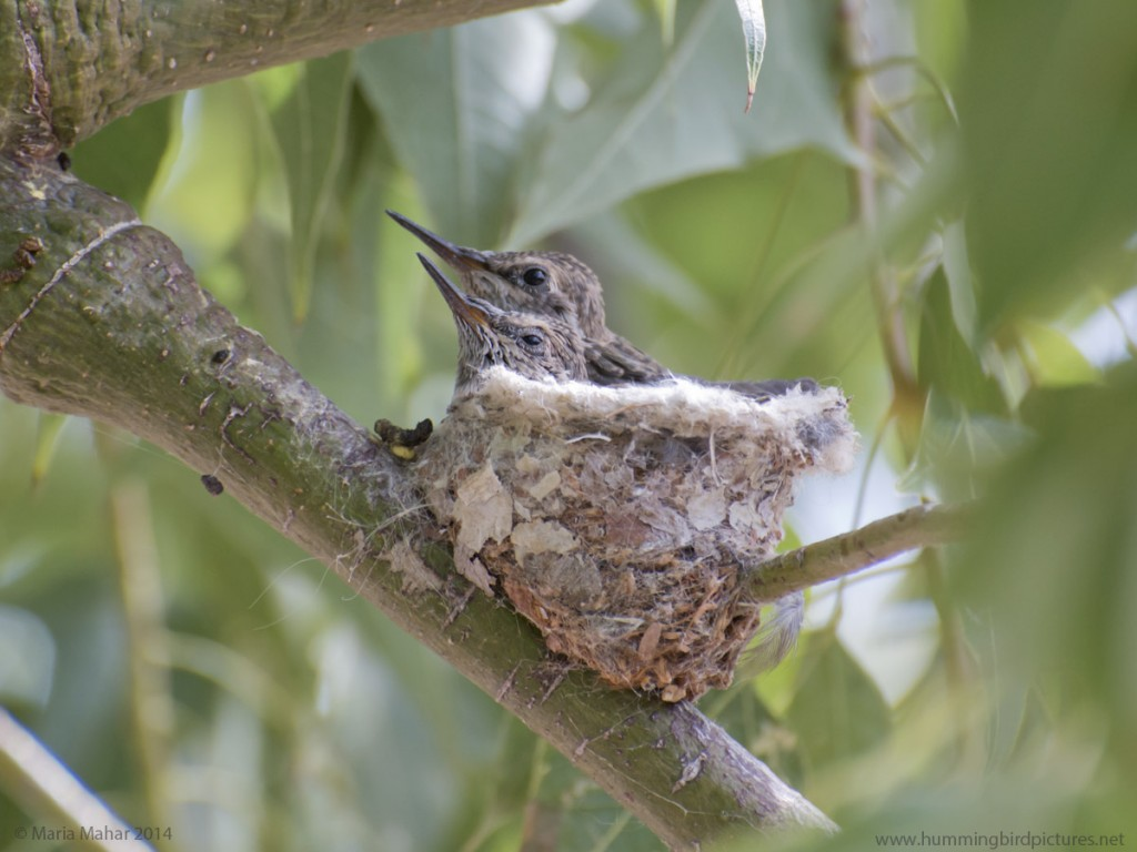 Picture of two baby hummingbird wedged into their nest and looking to the side with eyes open.