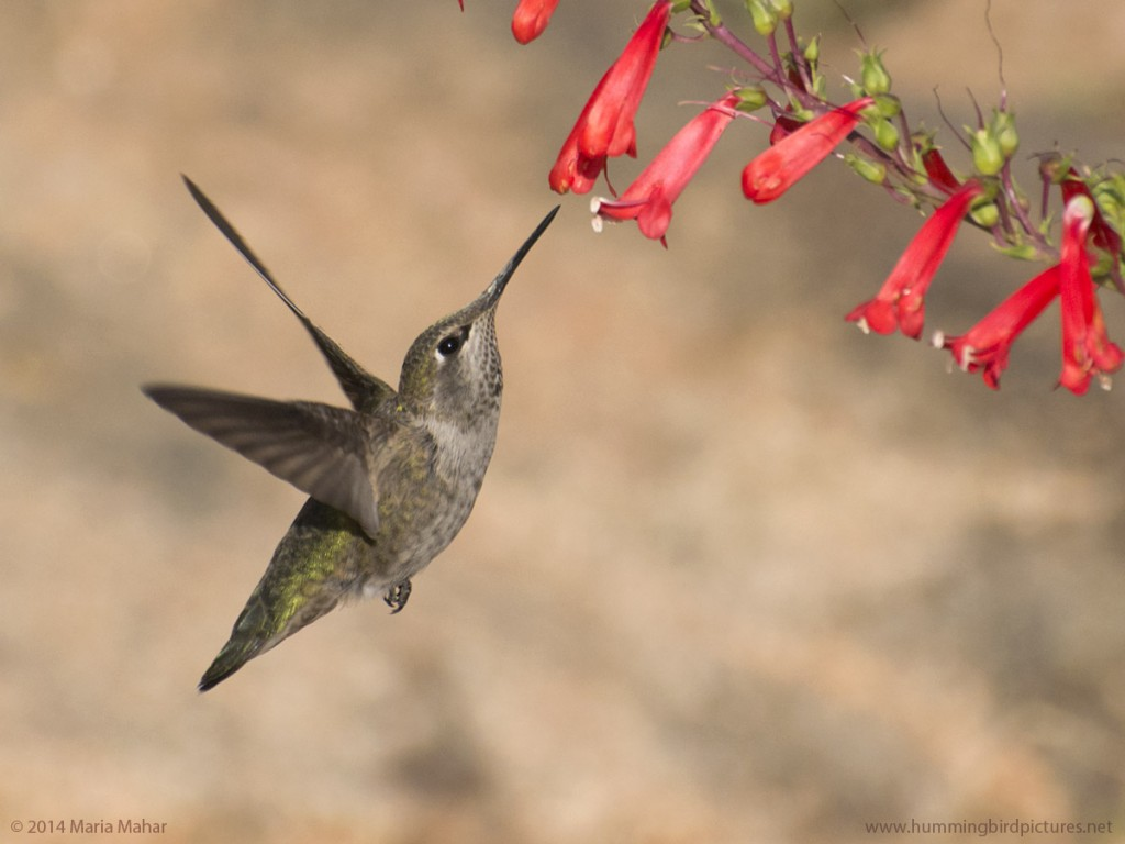 Close up picture of an Anna's Hummingbird with flowers. This side view shows the hummingbird hovering and looking up to feed from a bell shaped red flower.