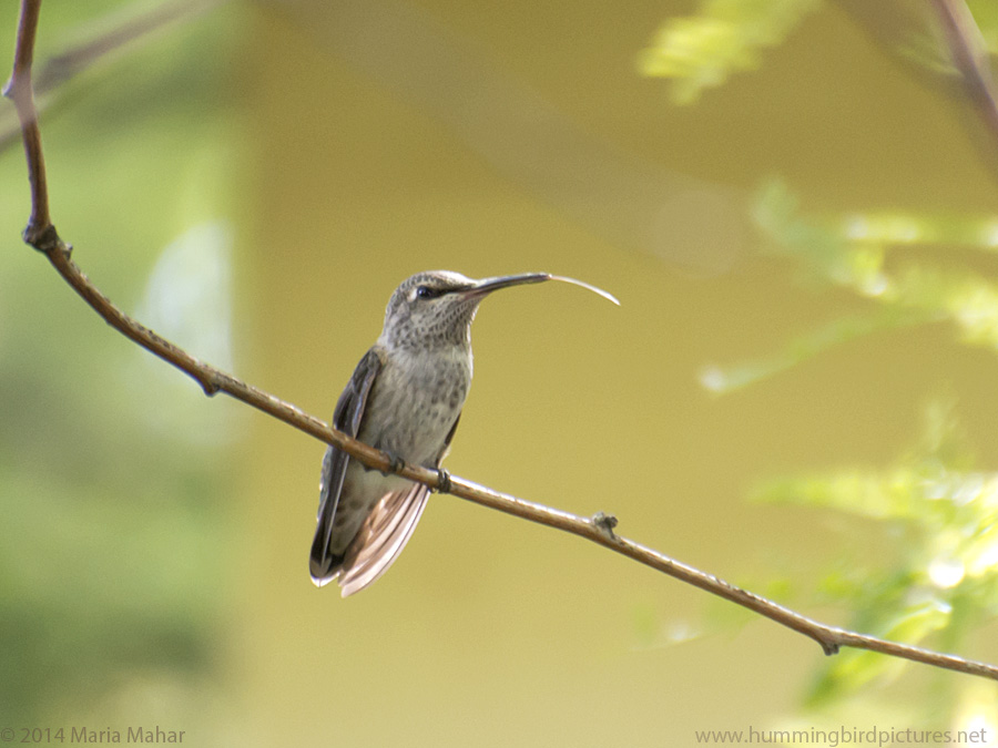 Picture of a hummingbird tongue. A hummingbird perches on a twig and its tongue is sticking out of its beak
