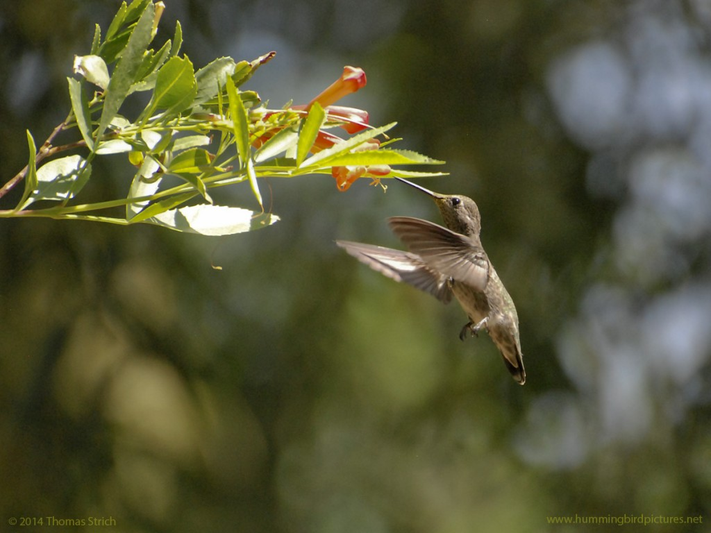 Side view of a hummingbird hovering upright next to orange Tecoma flowers.