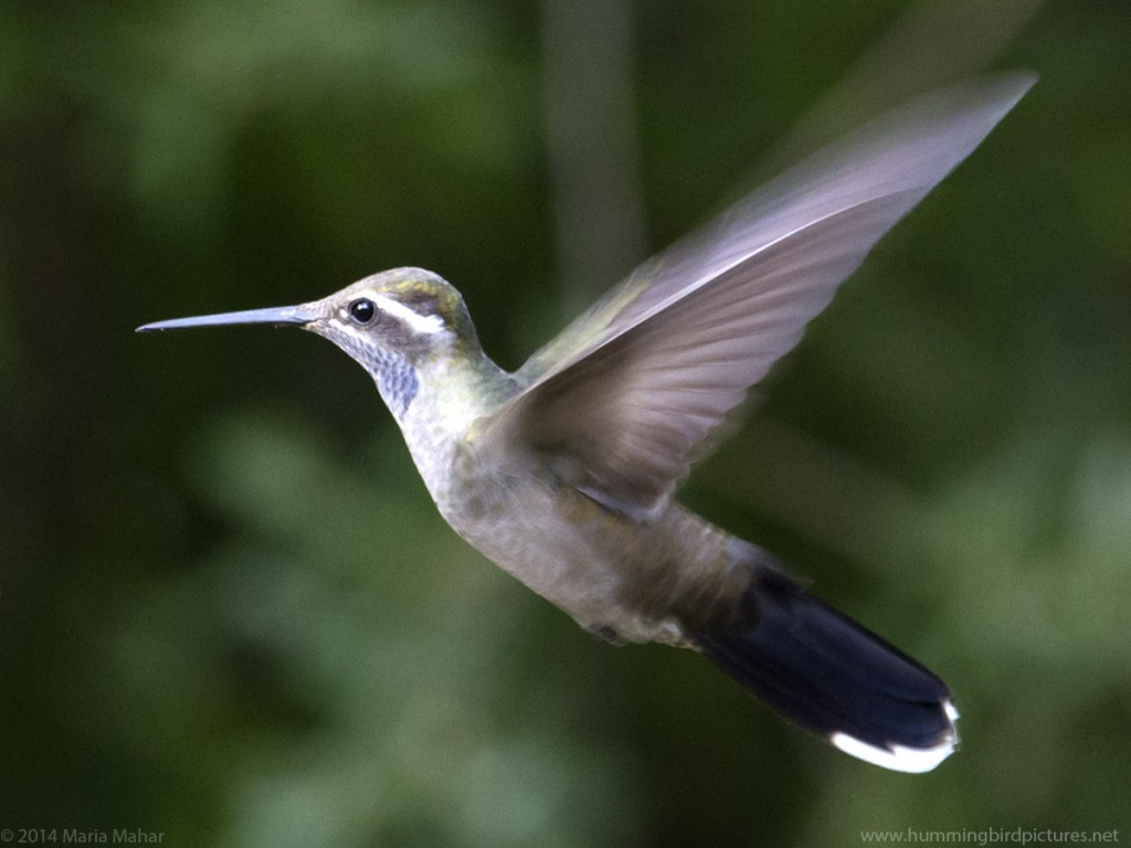 Close up picture of a Blue-throated Hummingbird flying in side view