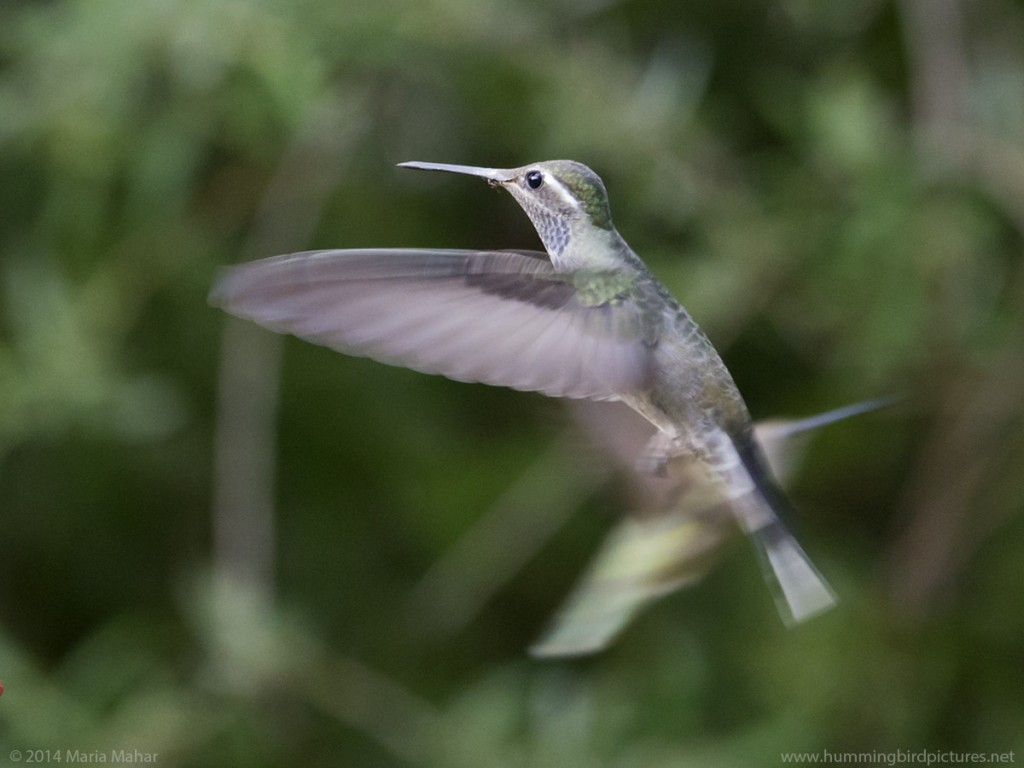 Side view picture of a Blue-Throated Hummingbird in flight