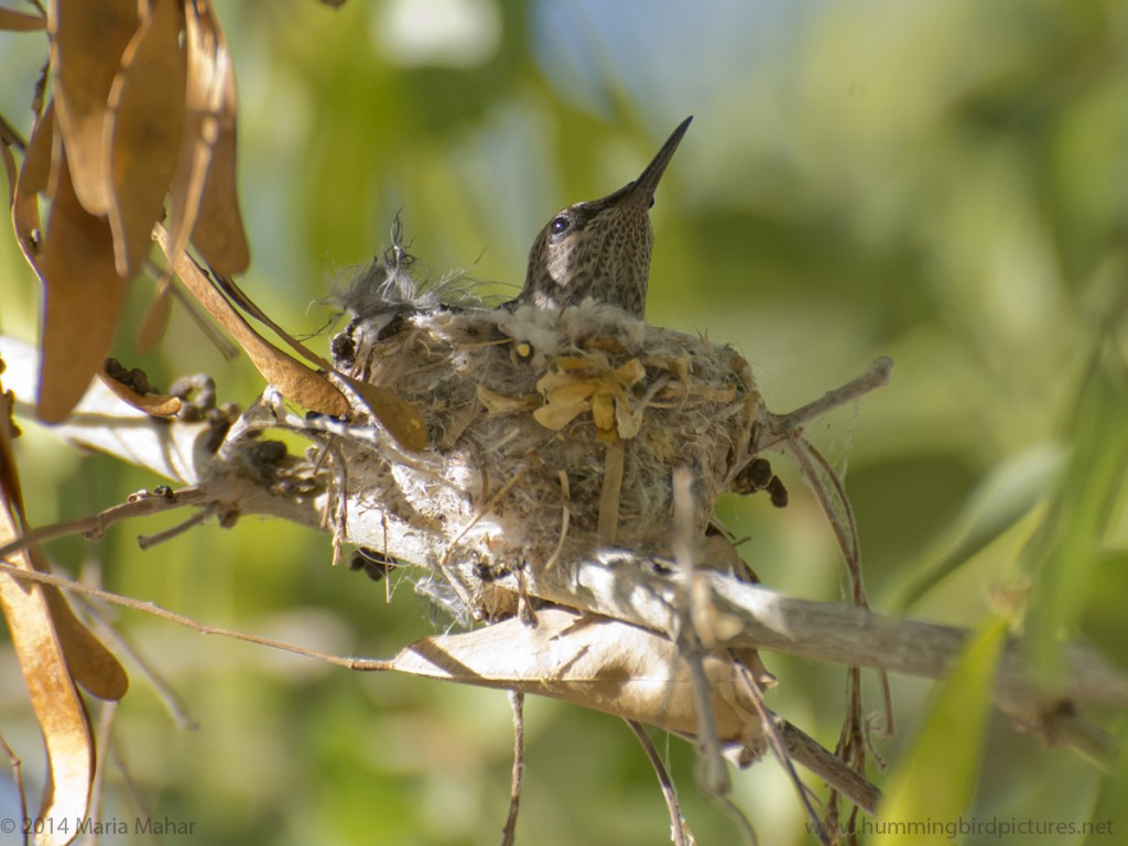 Close up picture of a hummingbird nest with a baby hummingbird. This side view shows the nest on twigs.