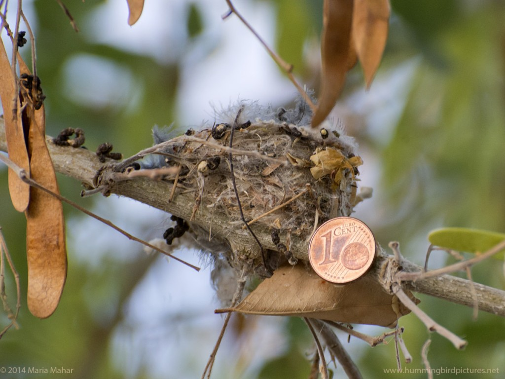 Close up photo of a Euro cent coin next to a hummingbird nest for size comparison