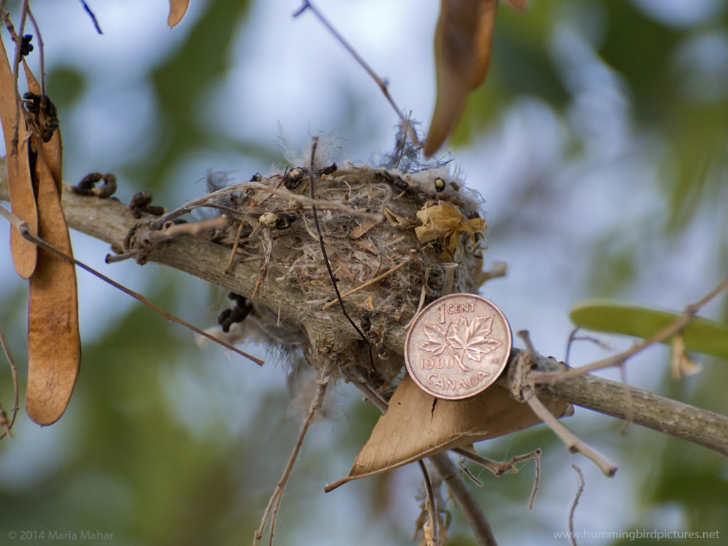 Close up picture of a Canadian penny next to a hummingbird nest.