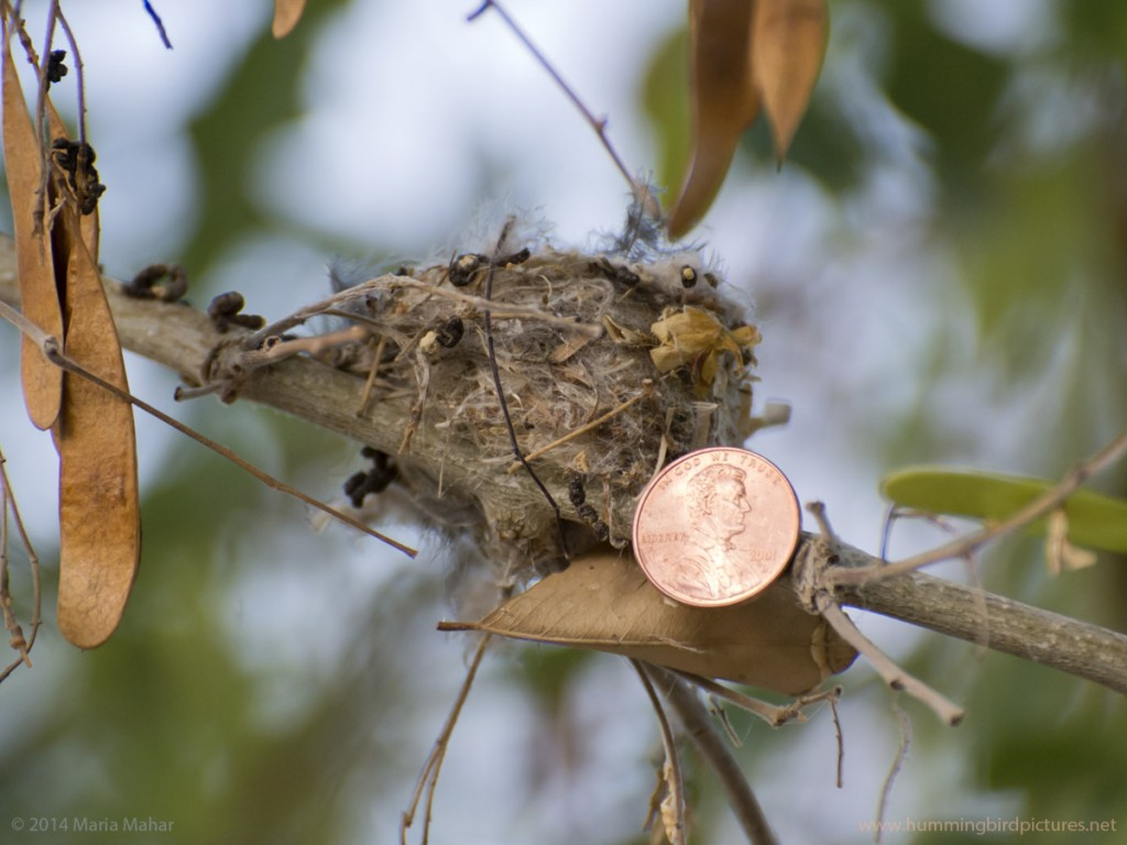 Close up picture answers how small is a hummingbird nest by showing a U.S. penny next to the nest.