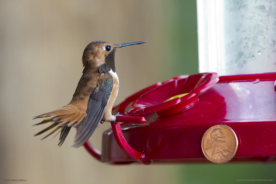Picture of a male Rufous Hummingbird perched on a feeder. The feeder has a U.S. penny attached to it for size comparison.