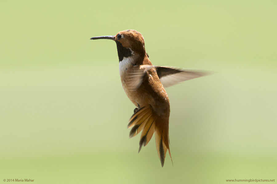 Picture showing male Rufous Hummingbird's back and flared tail against a green background.