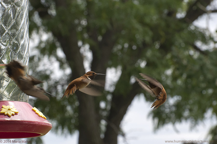 Picture of a 2 male Rufous Hummingbirds in flight, with one backing away and one charging toward it