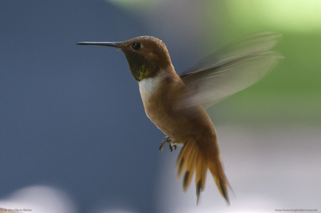 Picture of Rufous Hummingbird male in flight