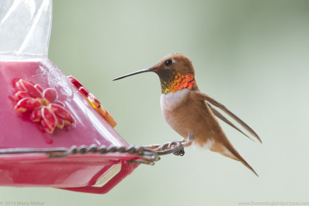 Picture of a male Rufous Hummingbird perched on a feeder