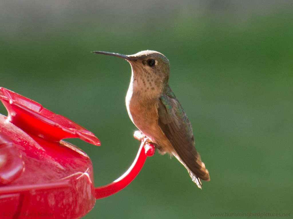 Close up picture of a female Calliope Hummingbird perching on a feeder