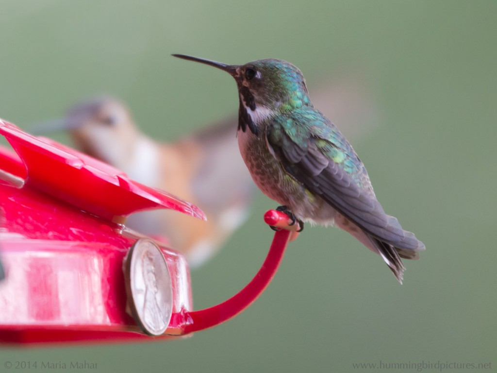 Picture of a male Calliope Hummingbird on a feeder