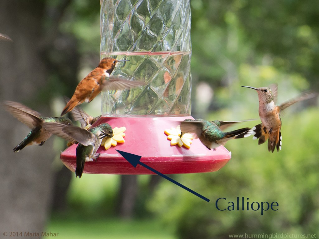 Picture of a Calliope Hummingbird clinging to a feeder and feeding while other hummingbirds either feed or confront each other.