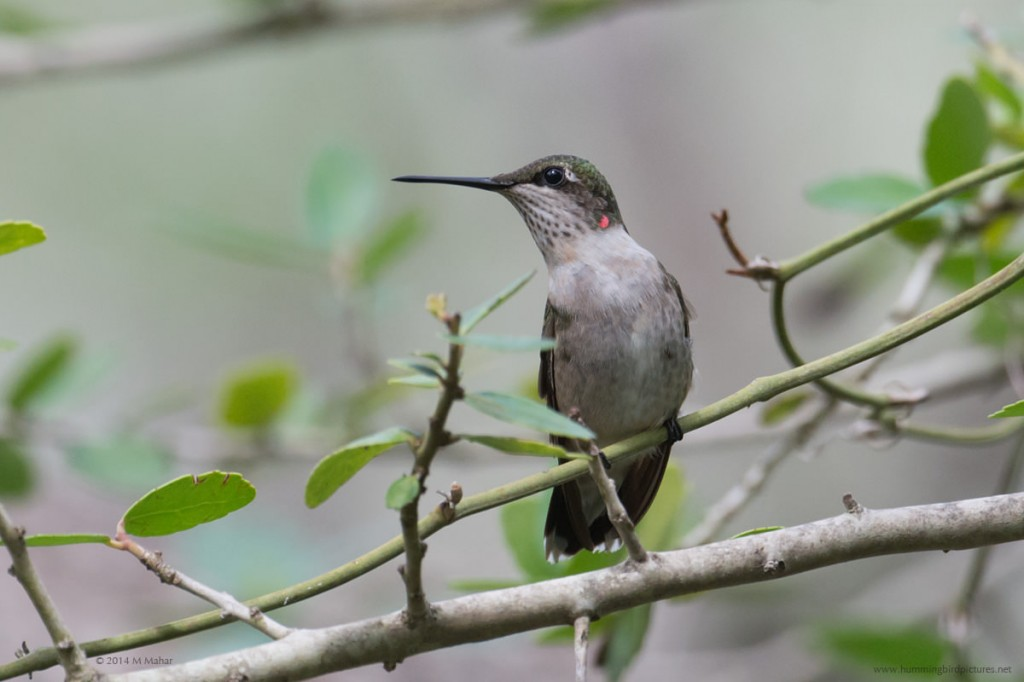 Close up side view of a young male Ruby-throated Hummingbird perching among twigs and leaves.