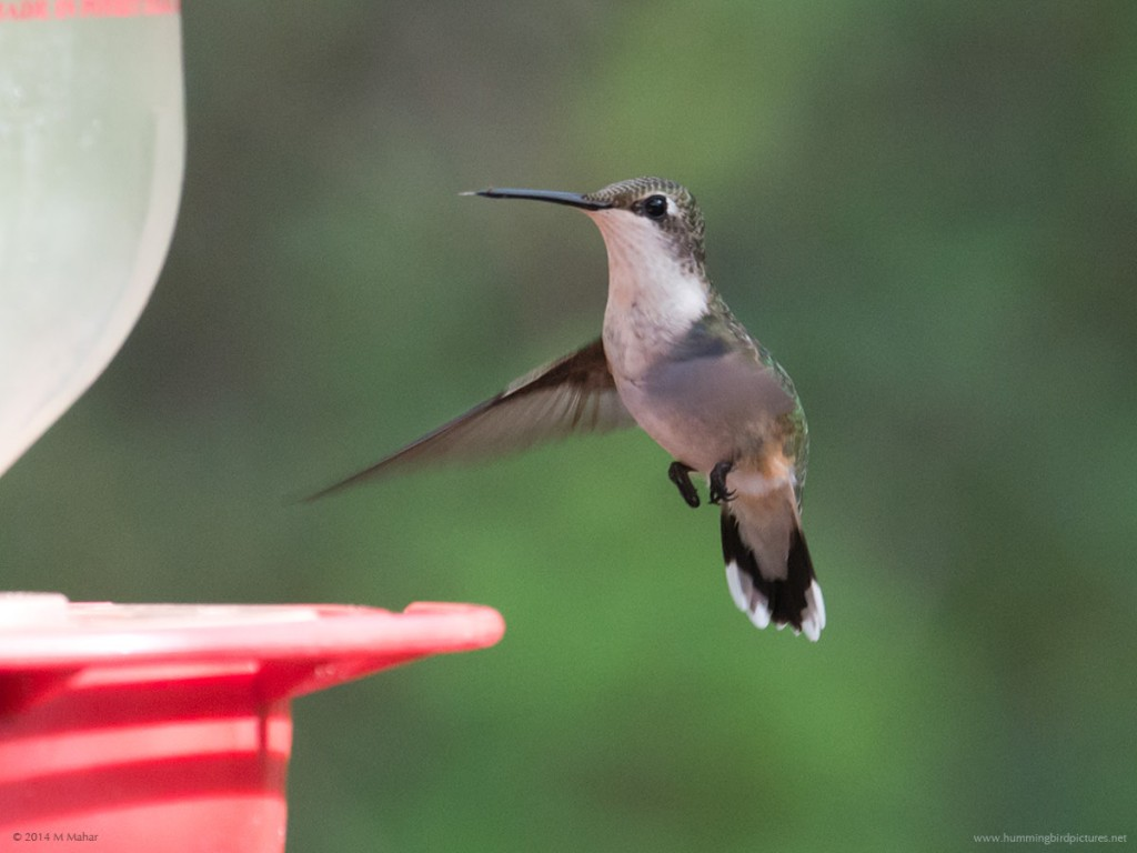 Close up of Ruby-throated Hummingbird hovering next to feeder
