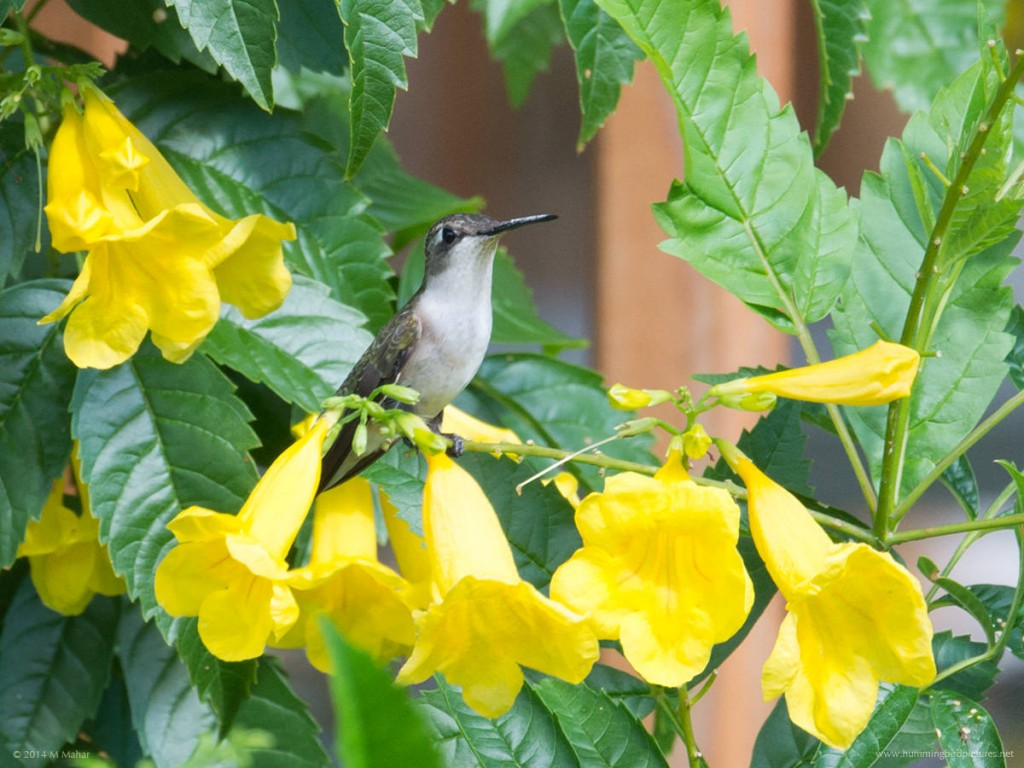 Picture of a female Ruby-throated Hummingbird among yellow flowers