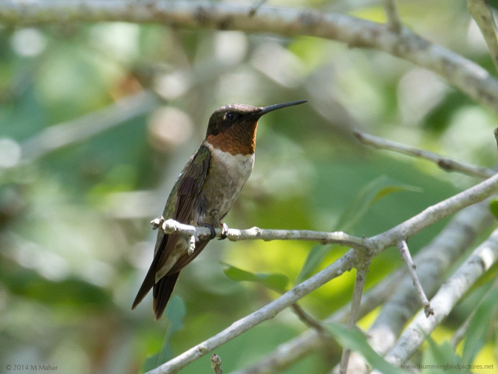 PIcture of a male Ruby-throated Hummingbird perched on a twig