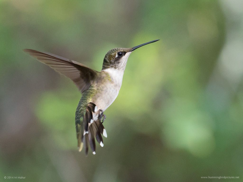 Side view picture of a young Ruby-throated Hummingbird in flight