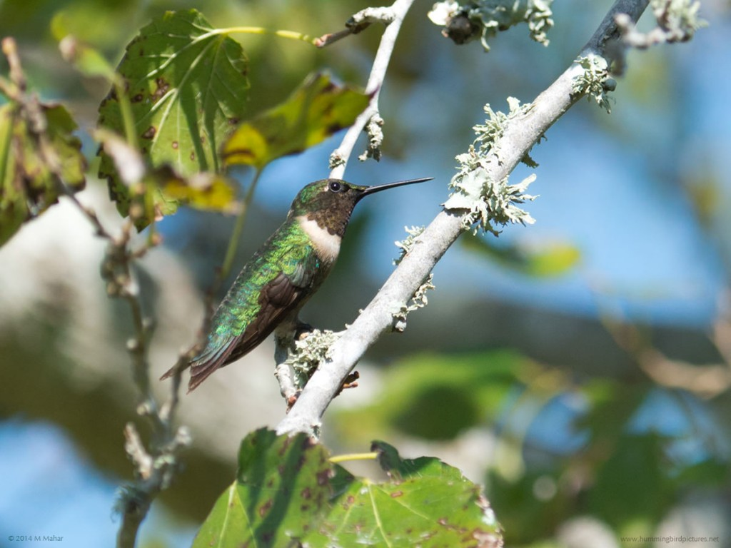 Side view picture of a male Ruby-throated Hummingbird