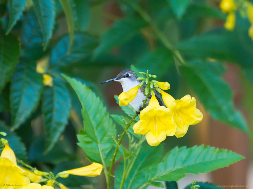 A Ruby-throated Hummingbird peers out from behind a cluster of yellow flowers.
