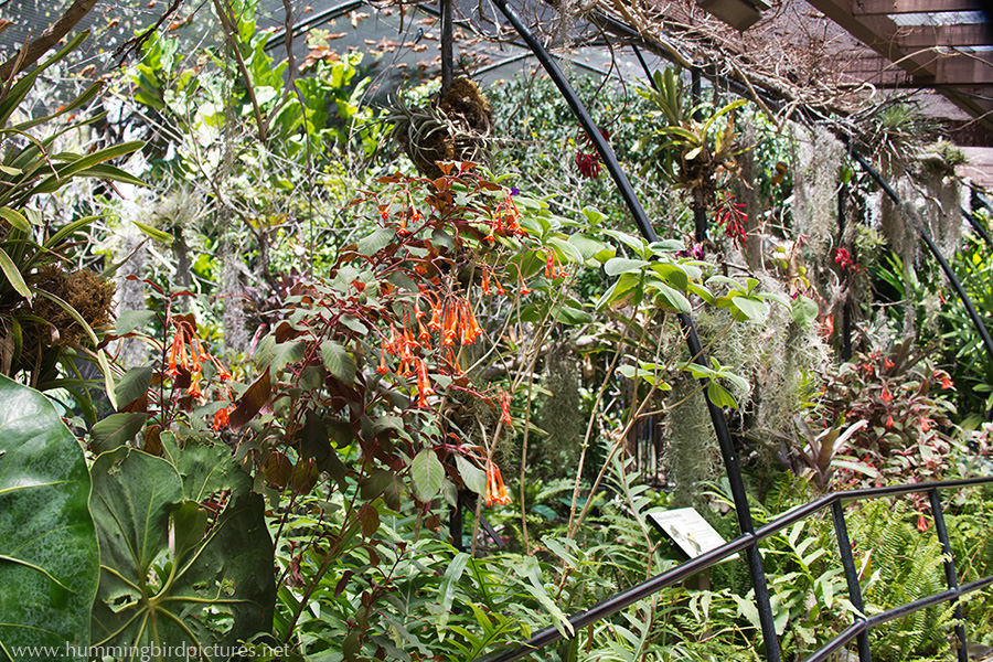 A tangle of lush plants and orange red blossoms grows right up to the walkway in the hummingbird exhibit