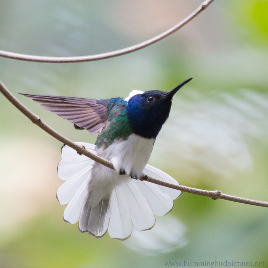 The hummingbird has stretched out one wing and fanned its white tail.