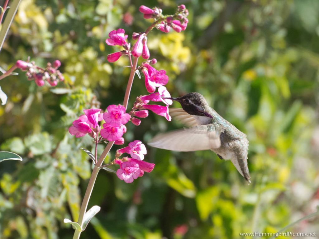 Attract hummingbirds with flowers and feeders