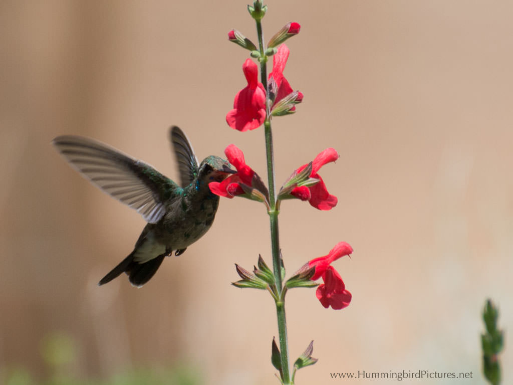 A Hummingbird Feeds From The Red Flowers Of Salvia Plant