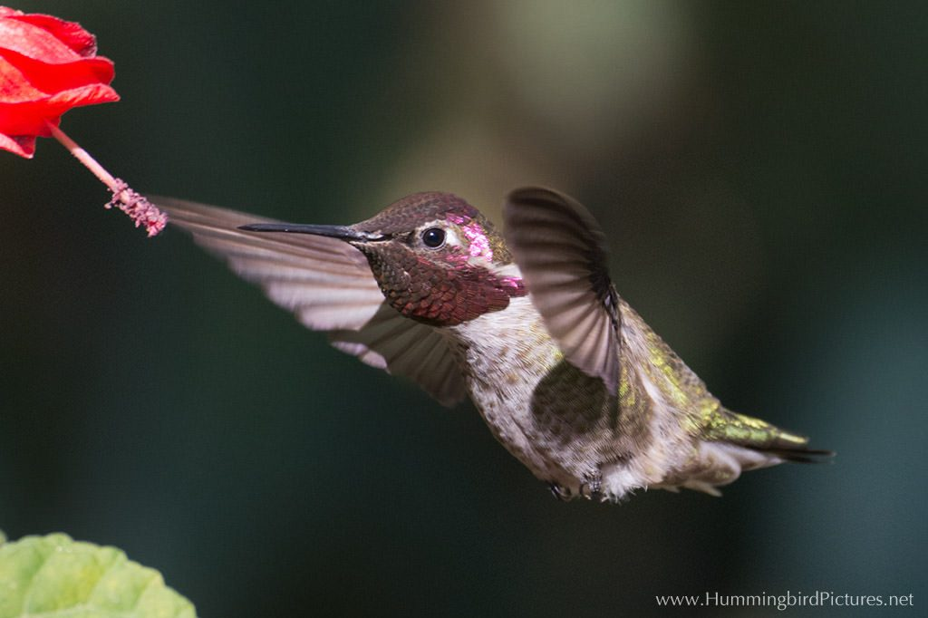 Picture of hummingbird in flight