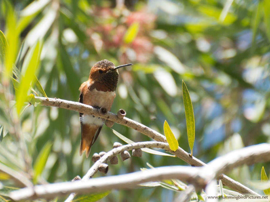 A male Allen's Hummingbird perches amid leaves in a Bottle Brush tree