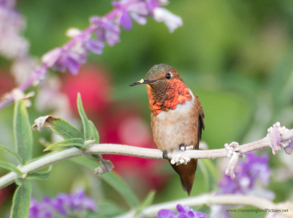 Picture Of An Allens Hummingbird In His Flowers