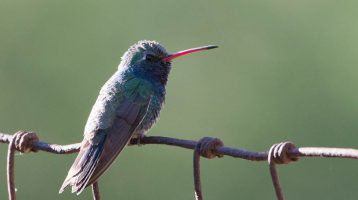 Hummingbird with Blue-green Feathers