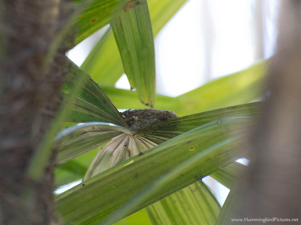 A hidden nest atop a frond