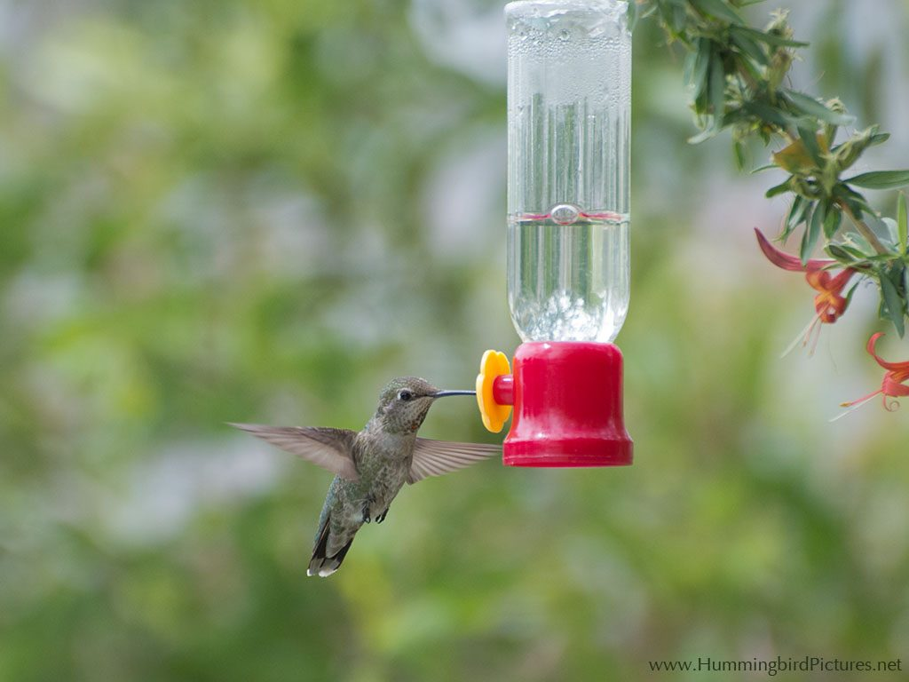 A hummingbird feeds from the single port of a small hummingbird feeder