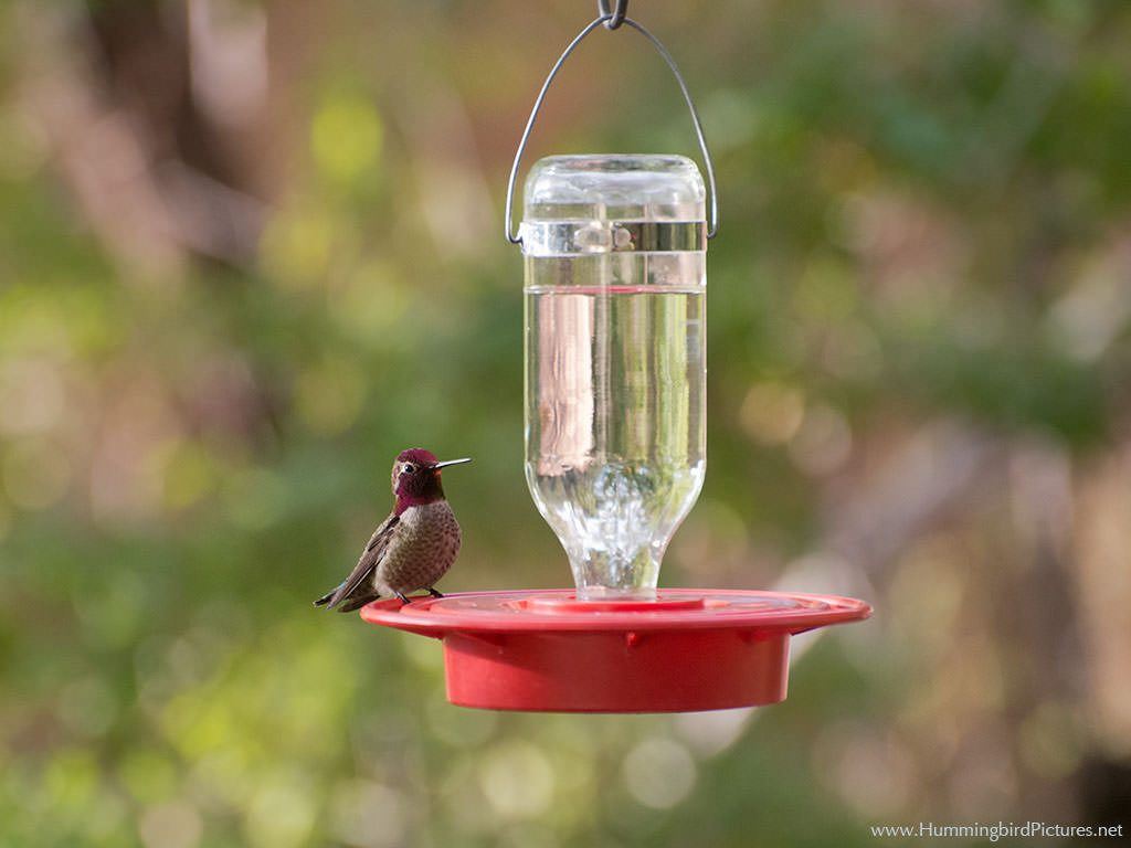 A plump male Anna's Hummingbird sits on the base of a small bottle-style hummingbird feeder