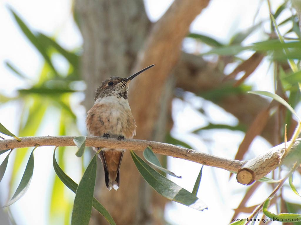 Picture of a young Allen's Hummingbird perching on a small branch