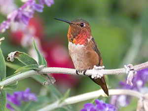A male Allen's Hummingbird perches among lavender purple flower stalks