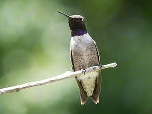 A male Black-chinned Hummingbird perches on a twig against a green background