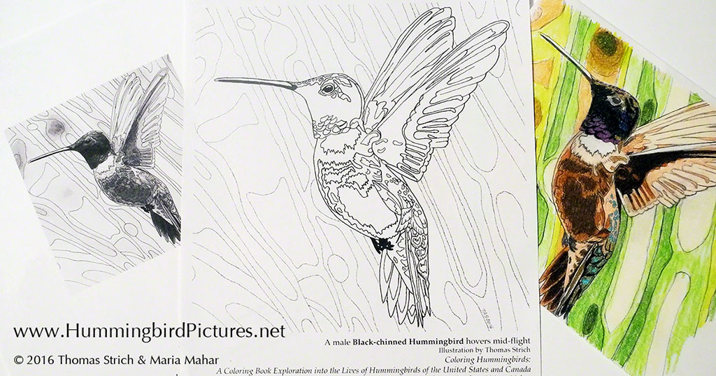 Coloring Pages United States : Hummingbird coloring pages hummingbird pictures