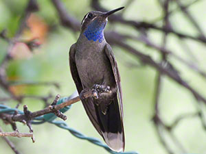 A Blue-throated Hummingbird perches with his blue gorget visible