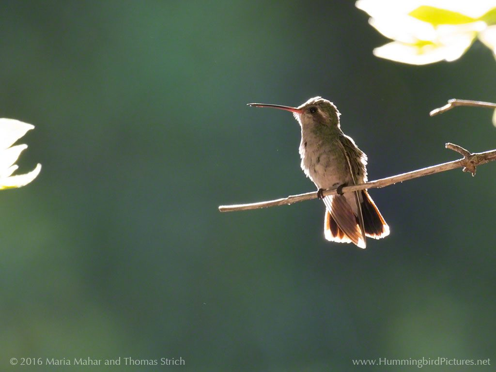 A female Broad-billed Hummingbird is outlined in morning light as she perches