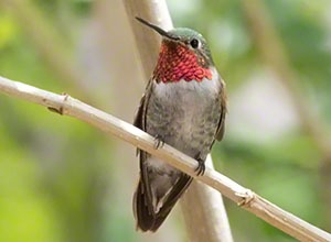 A male Broad-tailed Hummingbird with his bright magenta gorget visible