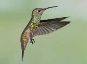A Buff-bellied Hummingbird hovers against a green background