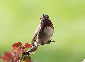 The small Calliope Hummingbird perches on a thin twig