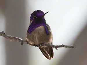 A male Costa's Hummingbird with his purple hood and gorget visible perches against a pale background
