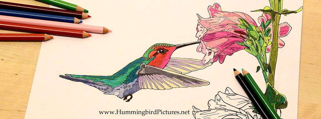 Hummingbird Coloring Pages - Hummingbird Pictures