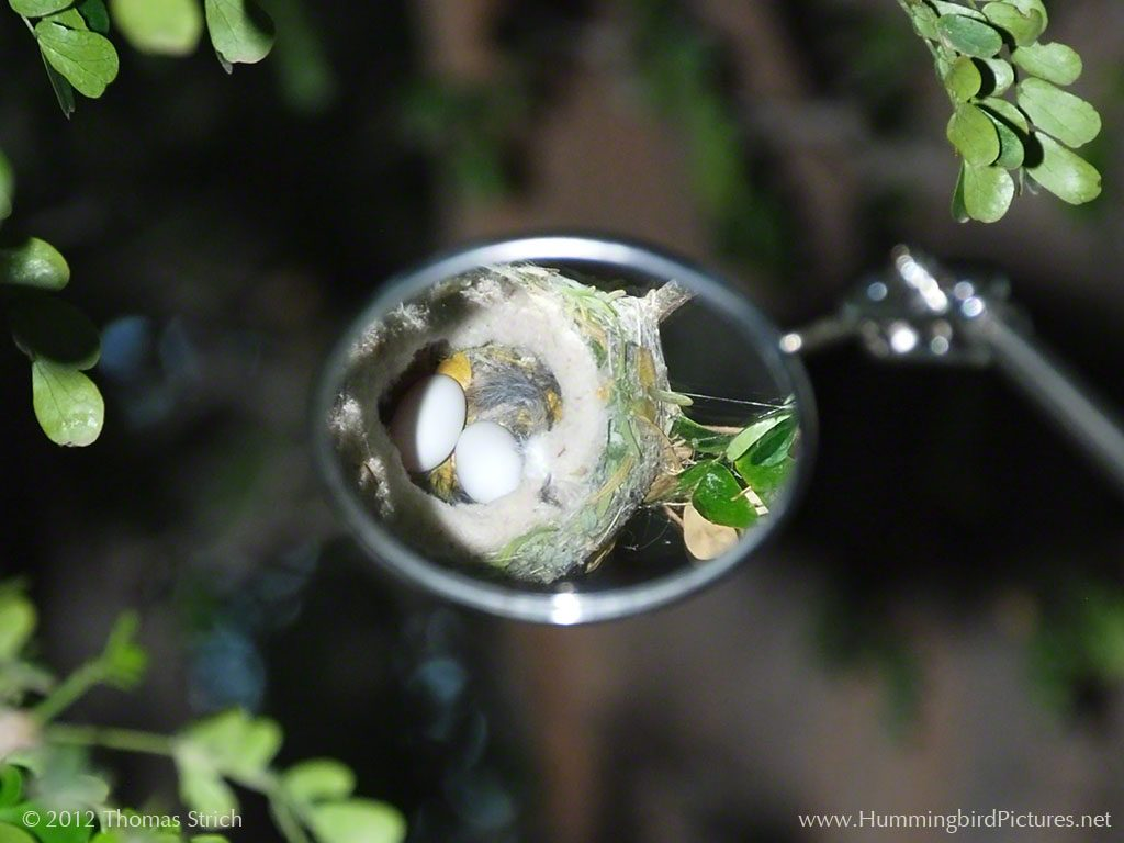 Picture of two Anna's Hummingbird eggs reflected in mirror held above nest