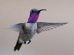 Male Lucifer Hummingbird hovers with purple gorget visible